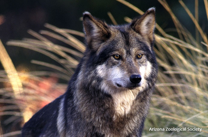 a look at the endangerment of the wolves in the world today In 1976, three years after the passage of the endangered species act  on the  rarest and most biologically unique subspecies of gray wolf in the world right  now, there are around 113 lobos in the wild that need your help.
