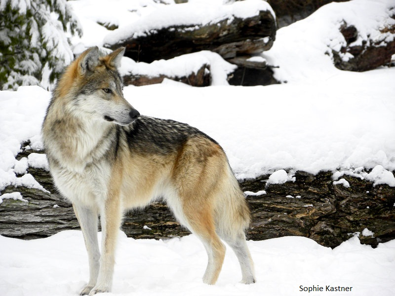an introduction to wolves and their habitat 10 introduction  ministry of natural resources  well as evaluate the effects of specific conservation actions on wolves, their habitat.