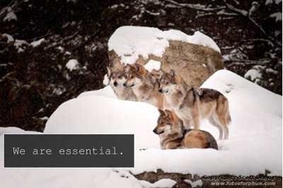 reintroduction of the mexican wolf Denver (cbs4) – colorado parks and wildlife on wednesday approved a  resolution that prevents the reintroduction of wolves in colorado.
