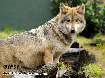 Mexican wolf - Wolf Haven International