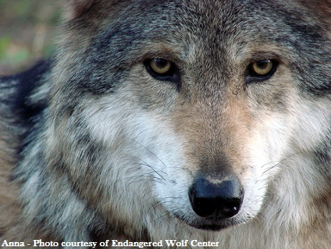 mexicanwolves org - Press