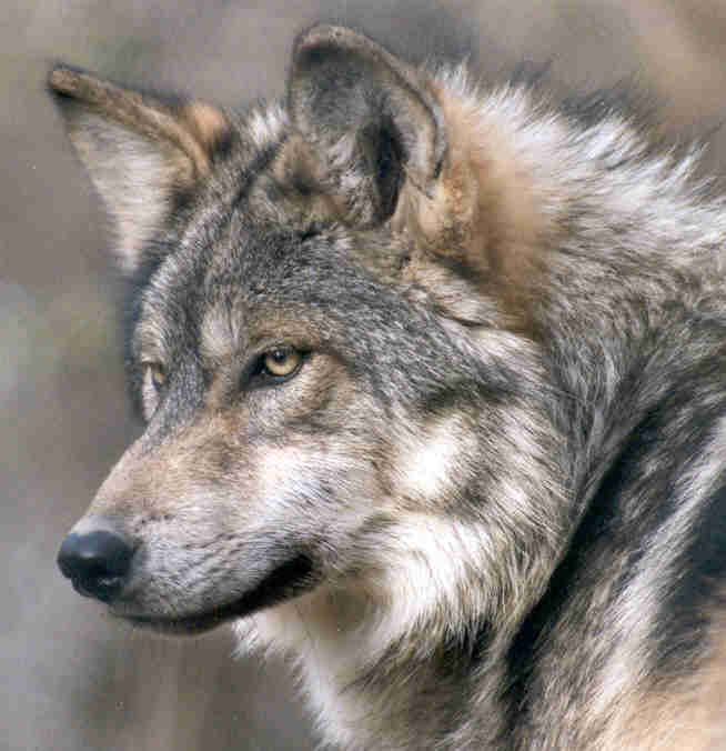 Mexican gray wolf F685, mother of Bluestem AM806 (captive) - Wild Canid Survival and Research Center<br />