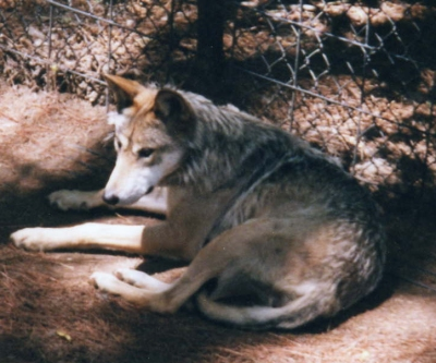 against the reintroduction of grey wolves The northern gray wolf  age-old fears have enabled humans to commit horrible acts against wolves  in the case of wolf reintroduction, the problem is not so .