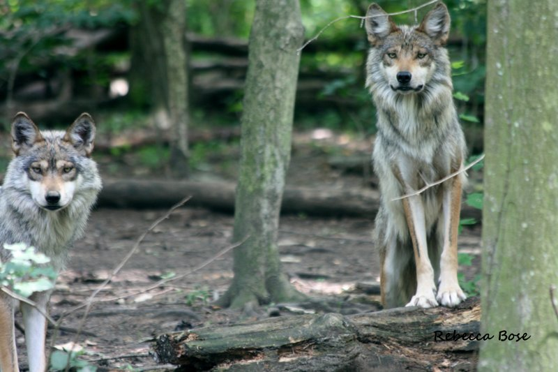 grey wolf essay The color of a gray wolf may range from black to white, but shades of grey are the most common a unique feature about gray wolves is the farther north you locate them, the bigger they are males can range from (nose-to-tail) five to six and a half feet and females vary from four and a half to six feet.