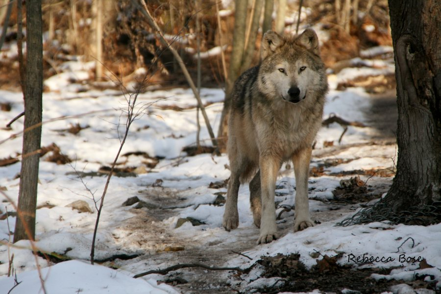 Argumentative Essay on Gray Wolf