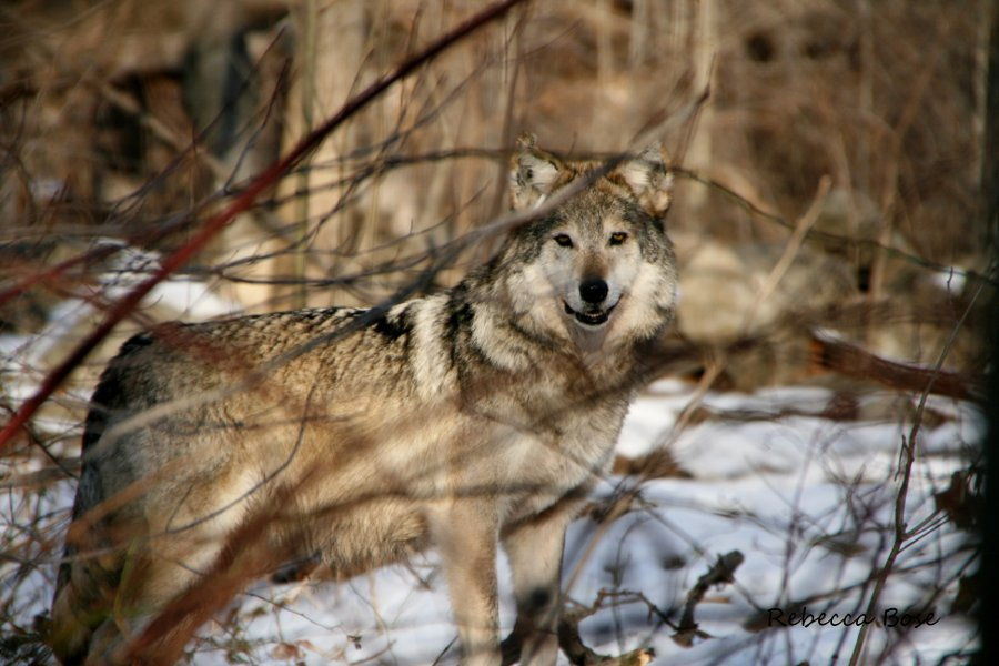 essay on gray wolves