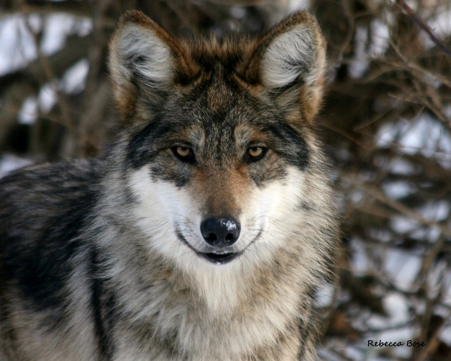 Mexican grey wolf - photo#14