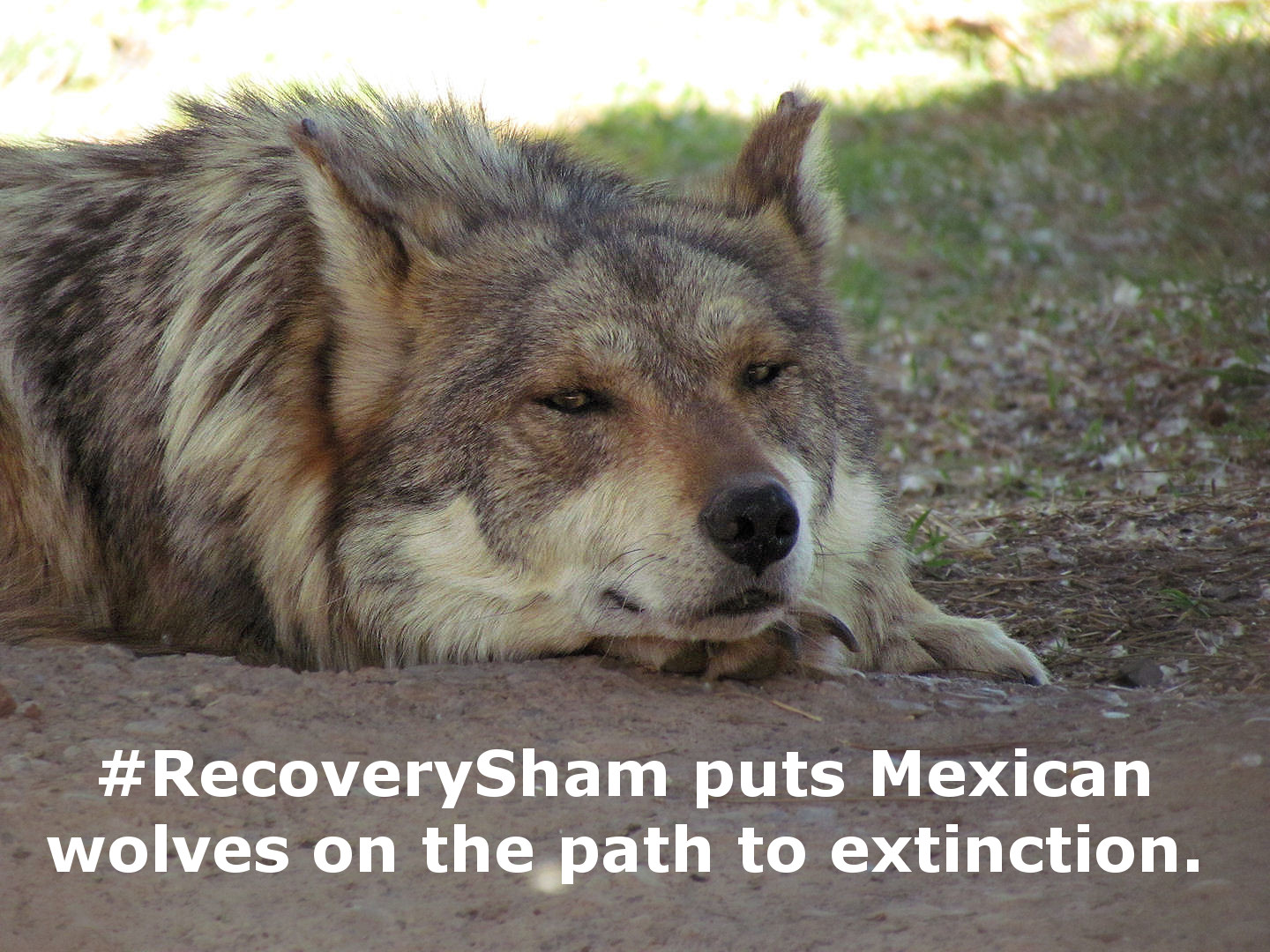 A mexican gray wolf faces a 28 percent chance of survival during the first year it is released in the wild