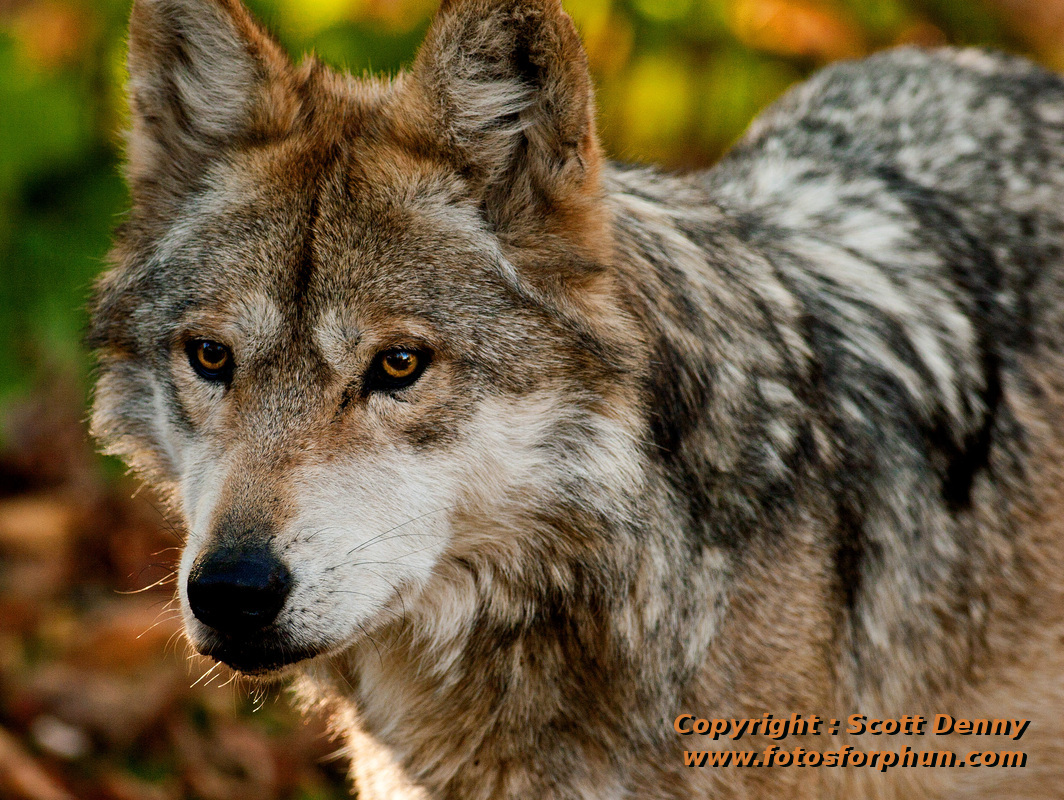 mexican gray wolf Albuquerque, nm (ap) — at least one more endangered mexican gray wolf is roaming the american southwest compared with a year earlier, and us wildlife officials said wednesday that lower.