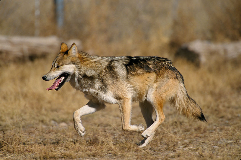 reintroduction of the mexican wolf Wolf reintroduction involves the reestablishment of a population of gray wolves and red wolves in areas where they have been extirpated wolf.