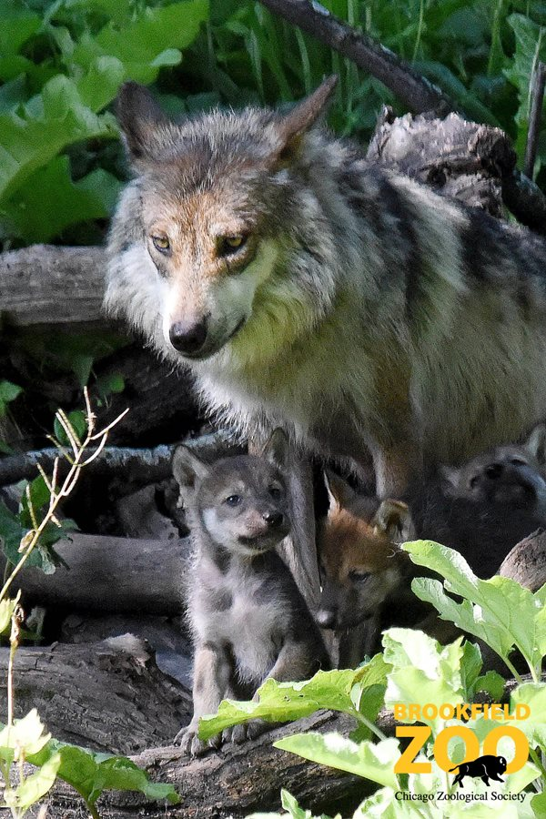 Mexican gray wolf pups - Brookfield Zoo