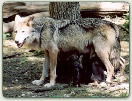 The Gray Wolf | Teen Environment Essay | Teen Ink