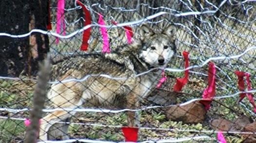 Mexicanwolvesorg Press