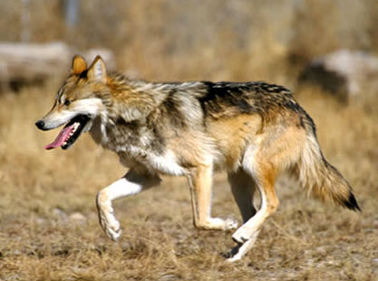 About Mexican Gray Wolves. Wolf Running none